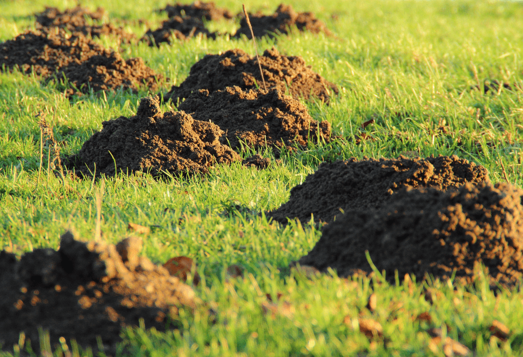 Moles-How to Identify and Get Rid of Moles in the Yard