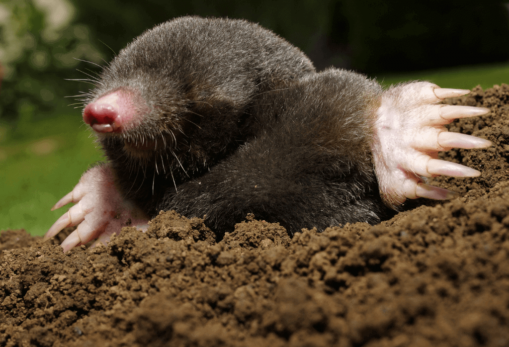The Best Time to Prepare Your Yard Against Moles