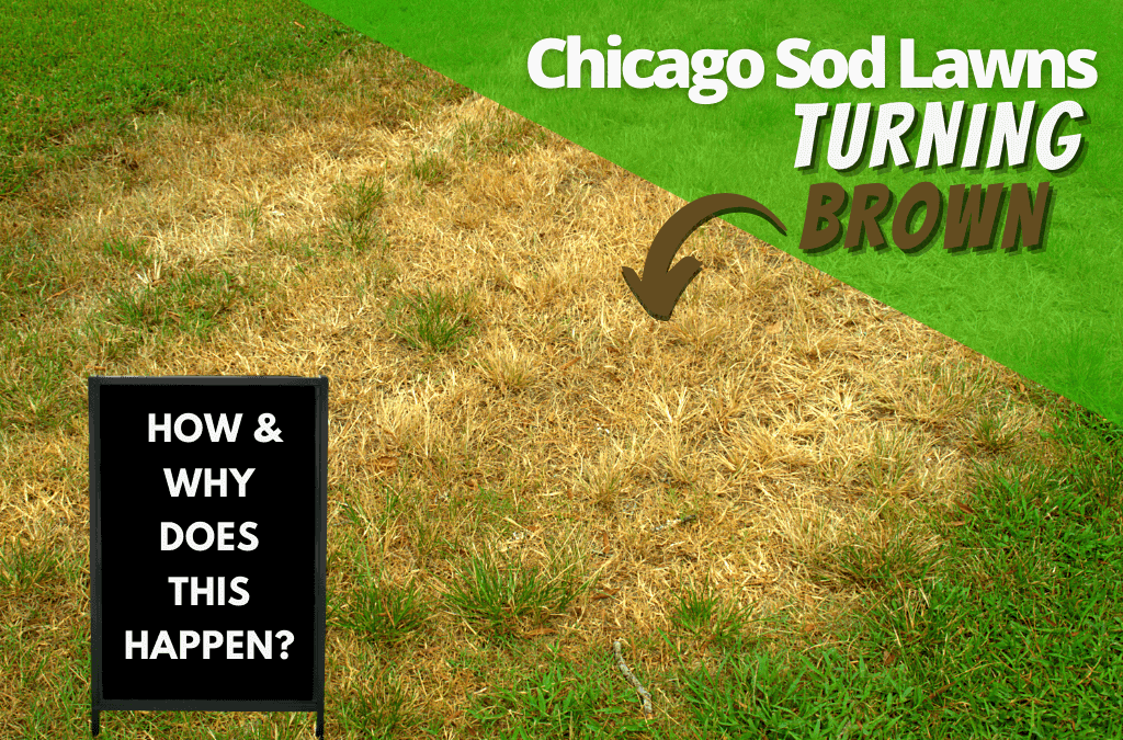 Chicago Sod Lawns Turning Brown