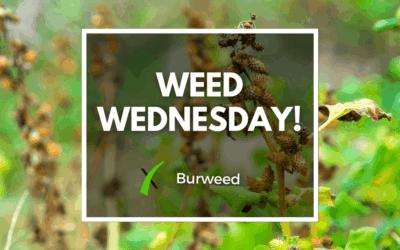 Weed Wednesday Burweed