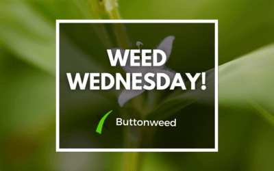 Weed Wednesday Buttonweed