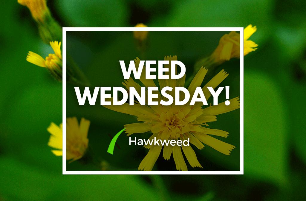 Weed Wednesday Hawkweed
