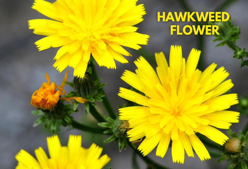 Weed Wednesday Hawkweed Flower Closeup