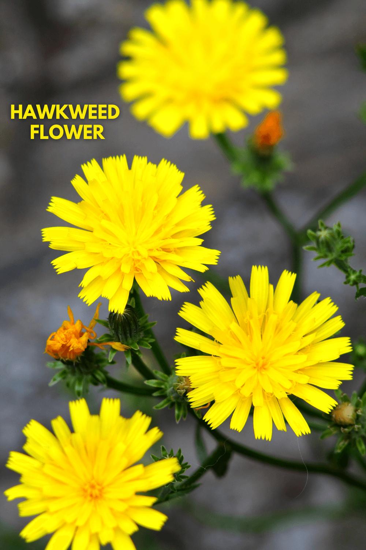 Weed Wednesday Hawkweed Flower