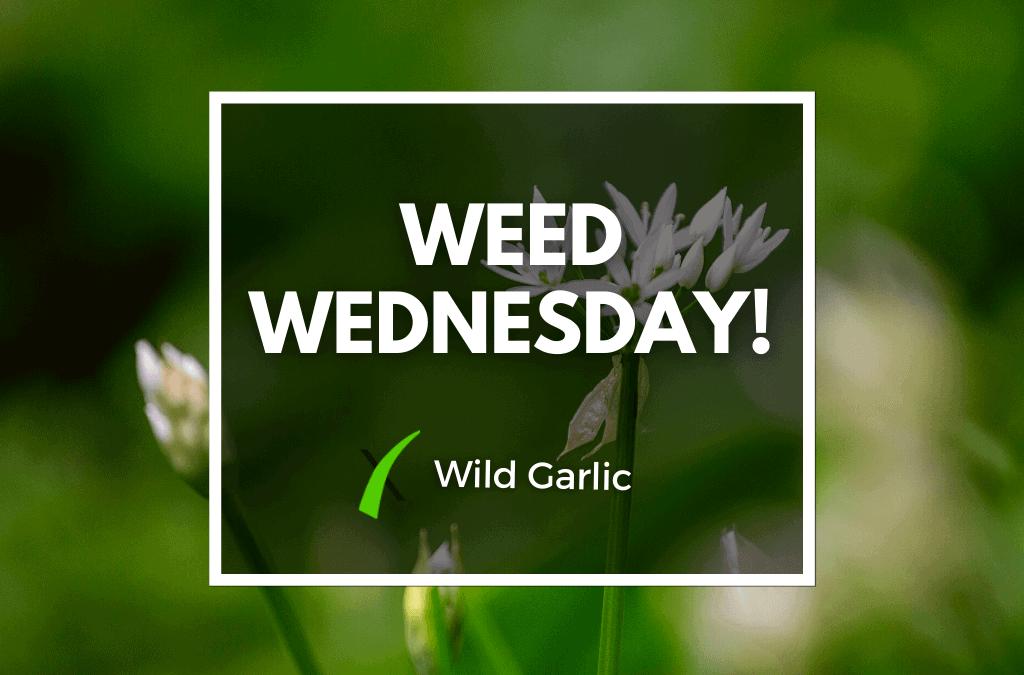 Weed Wednesday Wild Garlic