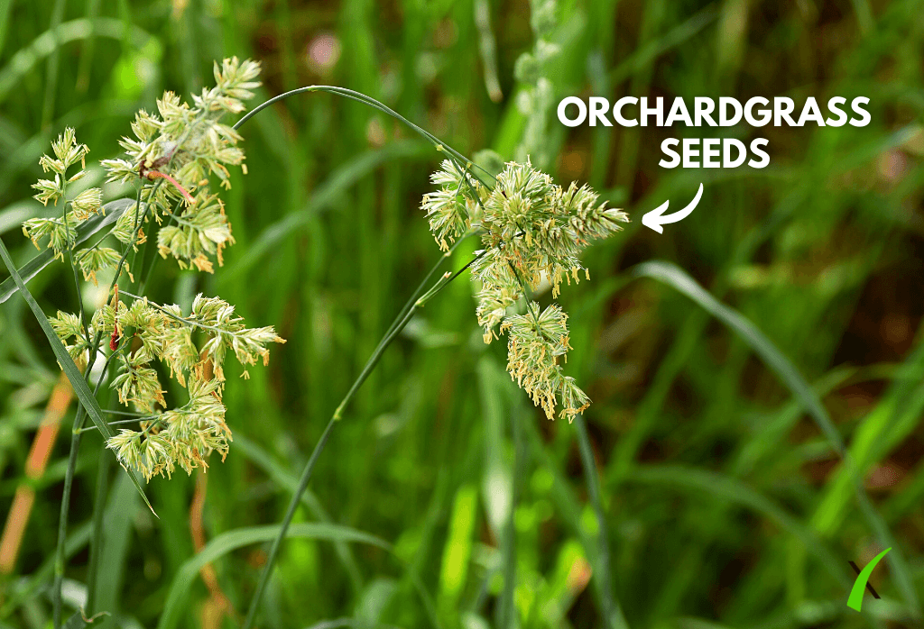 Orchardgrass Weed Control