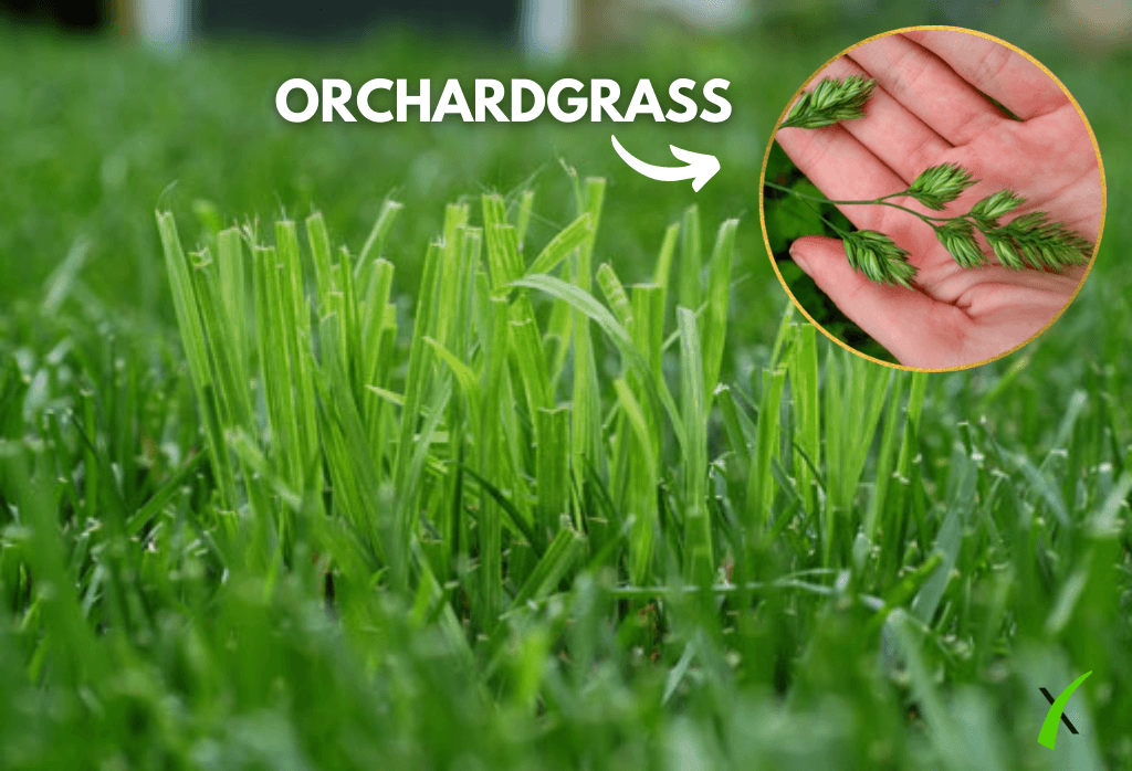 Orchardgrass on Home Lawn Closeup