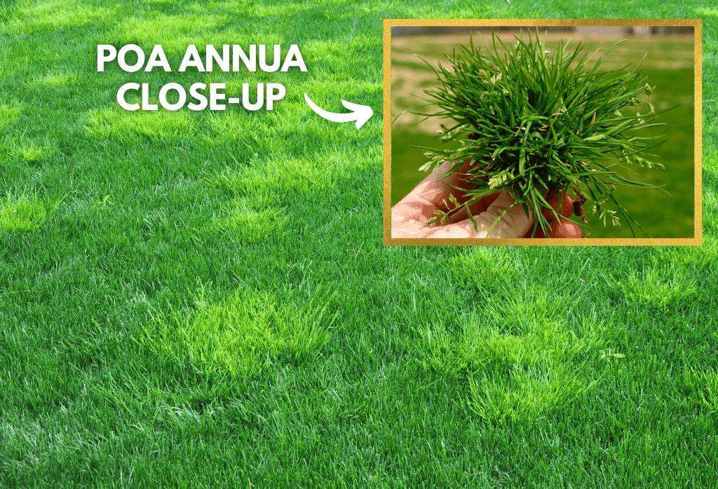 Poa Annua in Home Lawns Close Up