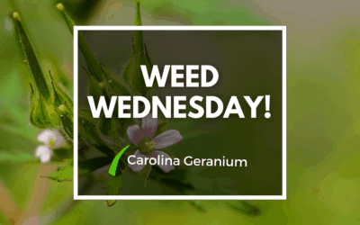 Weed Wednesday Carolina Geranium
