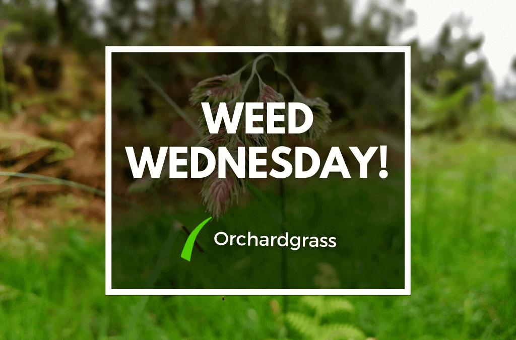 Weed Wednesday Orchardgrass