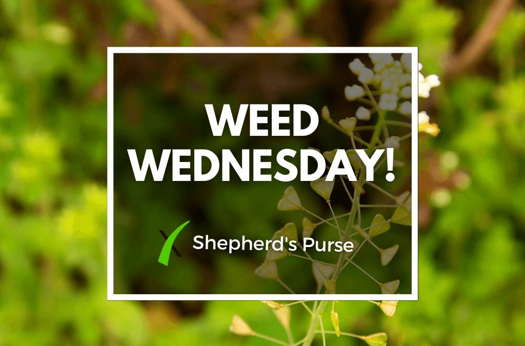 Weed Wednesday Shepherd's Purse