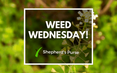Weed Wednesday Shepherd's Purse