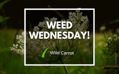 Weed Wednesday Wild Carrot