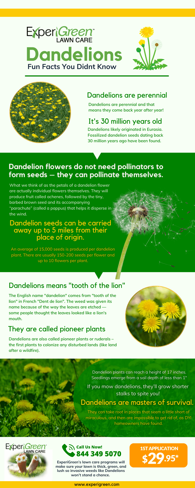 Dandelions Facts Infographic