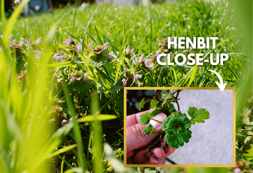 Henbit Weed Close-Up in Home Lawns