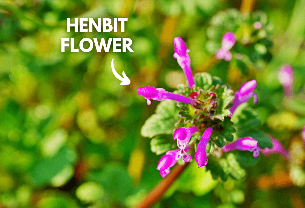 Henbit Weed Control For Home Owners