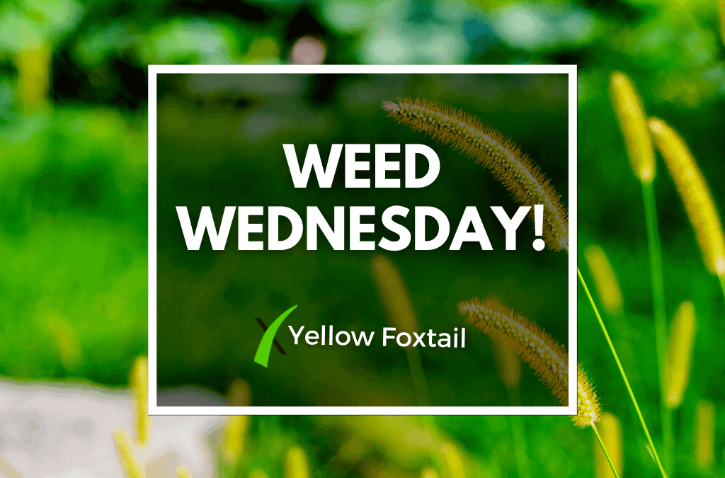 Weed Wednesday Yellow Foxtail