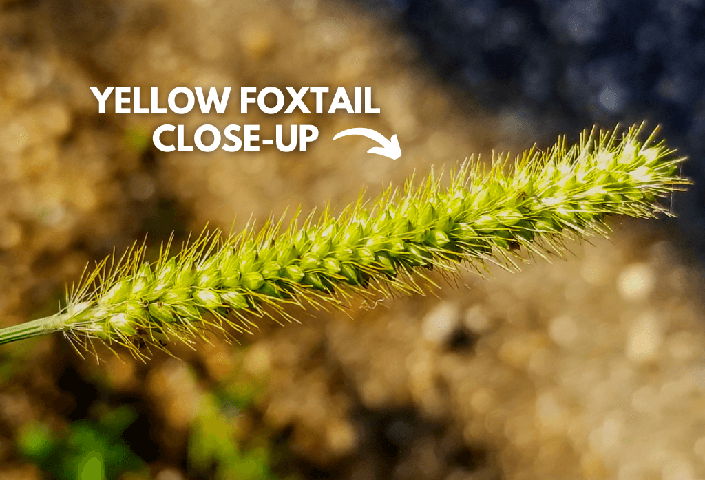 Yellow Foxtail Weed In Home Lawns Closeup
