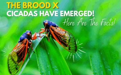 2021 Cicadas Have Emerged When Will It End