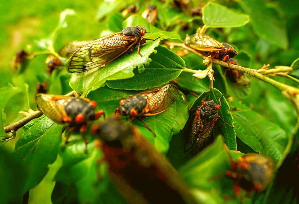 Cicadas Dublin Ohio