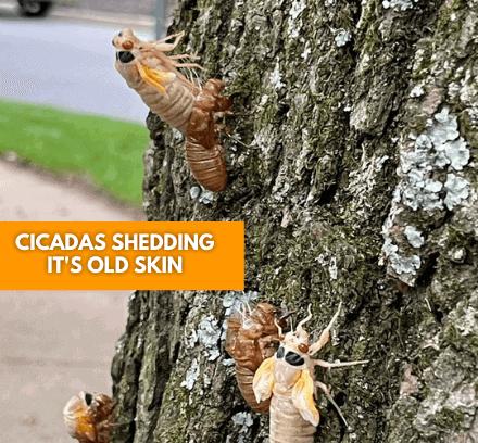 Cicadas Shedding Its Skin