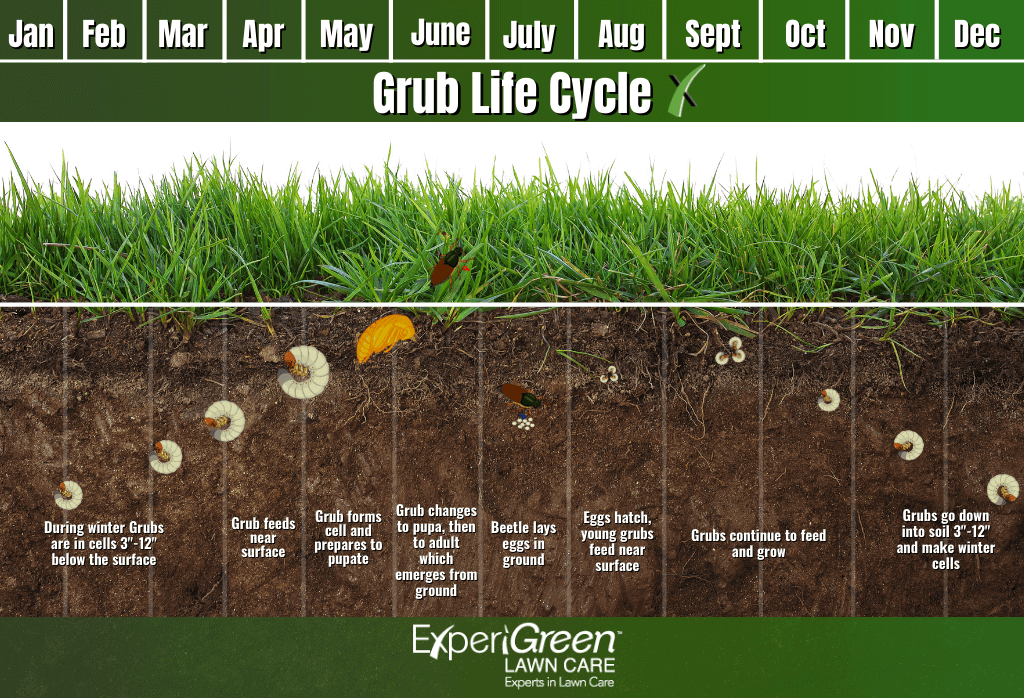 June Bug Life Cycle-Grubs