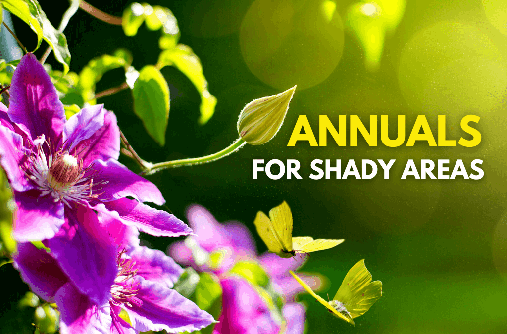 Annuals For Shady Areas