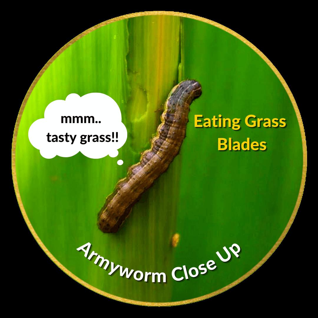 Armyworm eating grass blades closeup