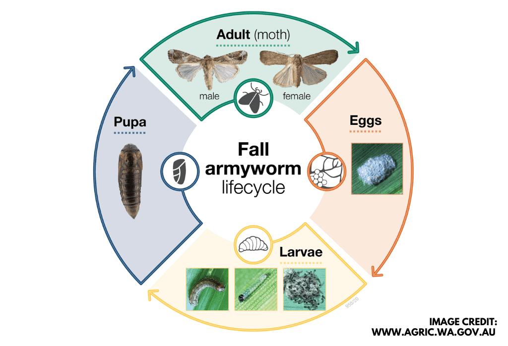 Armyworm life cycle