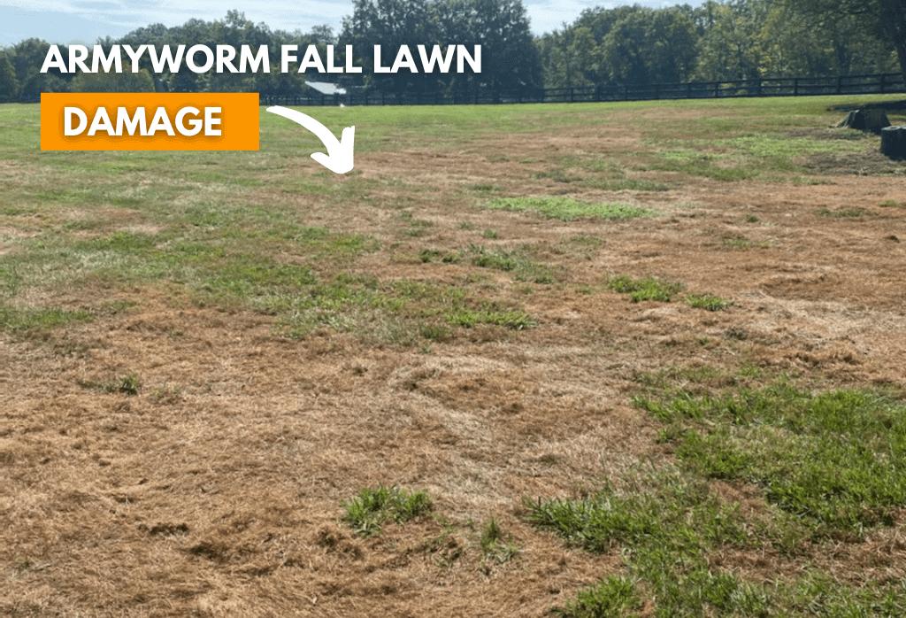 Fall Armyworm lawn damage 2021
